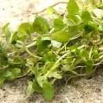 Callitriche stagnalis (starwort) - oxygen plant - pond plant - water plant-54