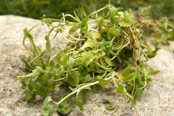 Callitriche stagnalis (starwort) - oxygen plant - pond plant - water plant-0