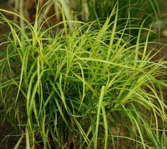 Carex muskingumensis (Musk sedge) - Marginal Pond Plants - Pond Plants - Water Plants-0