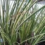 Acorus gramineus variegatus (Variegated slender sweet flag)-None-7 cm-0