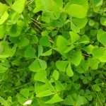 Marsilea quadrifolia (Water shamrock or Upright water clover) - Marginal Pond Plants - Pond Plants - Water Plants-19561