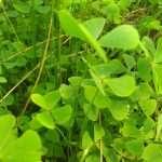 Marsilea quadrifolia (Water shamrock or Upright water clover) - Marginal Pond Plants - Pond Plants - Water Plants-0