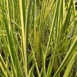 Acorus calamus variegatus (Sweet flag) - Marginal Pond Plants - Pond Plants - Water Plants-19626