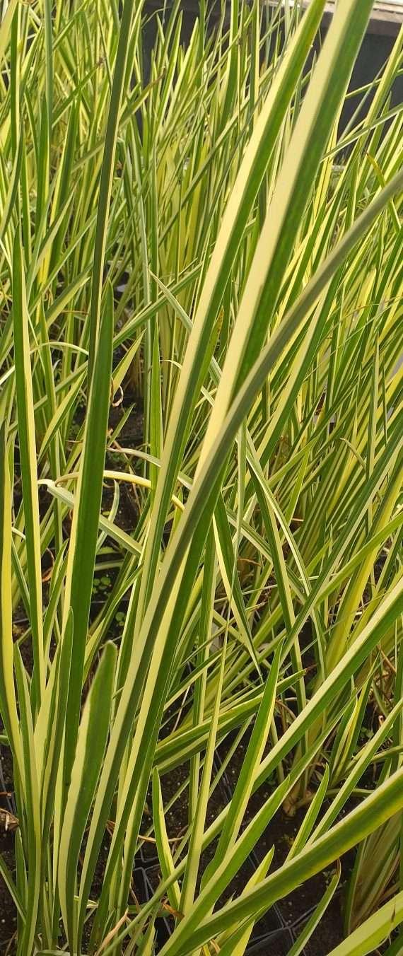 Acorus calamus variegatus (Sweet flag) - Marginal Pond Plants - Pond Plants - Water Plants-0