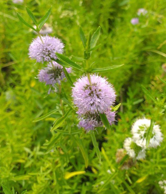 Mentha cervina (Water spearmint or Preslia cervina) - Marginal Pond Plants - Pond Plants - Water Plants-0