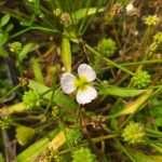 Baldellia ranunculoides (Lesser water plaintain) - Marginal Pond Plants - Pond Plants - Water Plants-19652
