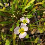 Baldellia ranunculoides (Lesser water plaintain) - Marginal Pond Plants - Pond Plants - Water Plants-0