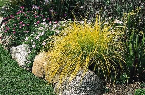 Carex elata 'Aurea' (Golden sedge) - Marginal Pond Plants - Pond Plants - Water Plants-0