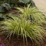 Acorus gramineus Ogon (Golden variegated slender sweet flag) - Marginal Pond Plants - Pond Plants - Water Plants-0