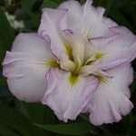 Iris ensata 'Lady in Waiting' - Marginal Pond Plants - Pond Plants - Water Plants-0