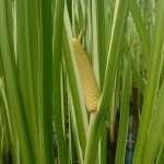 Acorus calamus variegatus (Sweet flag)-None-9 cm-0