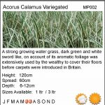 Acorus calamus variegatus (Sweet flag) - Marginal Pond Plants - Pond Plants - Water Plants-18103