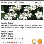 Anemopsis californicum (Apache beads) - Marginal Pond Plants - Pond Plants - Water Plants-18139