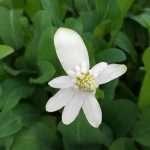 Anemopsis californicum (Apache beads) - Marginal Pond Plants - Pond Plants - Water Plants-0