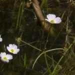 Baldellia ranunculoides (Lesser water plaintain)-None-7 cm-0