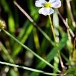 Baldellia ranunculoides (Lesser water plaintain)-None-9 cm-0