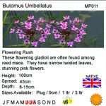 Butomus umbellatus (Flowering rush) - Marginal Pond Plants - Pond Plants - Water Plants-18253