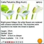Calla palustris (Bog or Water arum) - Marginal Pond Plants - Pond Plants - Water Plants-18254