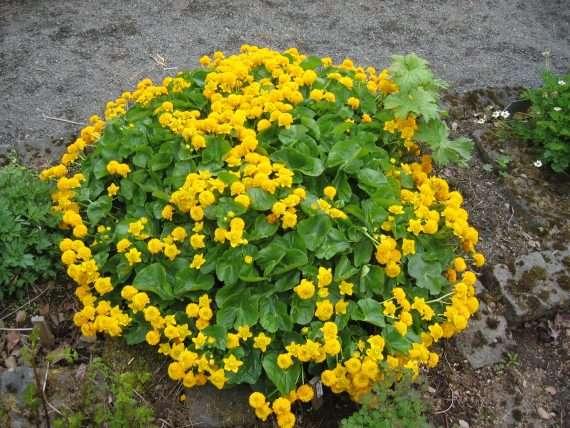Caltha palustris (King cup or Marsh marigold) - Marginal Pond Plants - Pond Plants - Water Plants-0