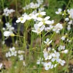 Cardamine pratensis (Cuckoo flower or Lady's smock) - Marginal Pond Plants - Pond Plants - Water Plants-0