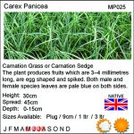 Carex panicea (Carnation grass or Carnation sedge) - Marginal Pond Plants - Pond Plants - Water Plants-18263