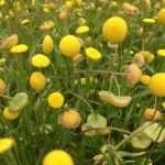 Cotula coronopifolia (Brass buttons) - Marginal Pond Plants - Pond Plants - Water Plants-19658