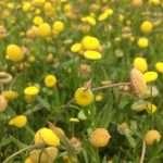 Cotula coronopifolia (Brass buttons) - Marginal Pond Plants - Pond Plants - Water Plants-19659