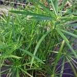 Cyperus alternifolius (Umbrella palm) - Marginal Pond Plants - Pond Plants - Water Plants-210