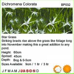 Dichromena colorata (Star grass) - Marginal Pond Plants - Pond Plants - Water Plants-18271