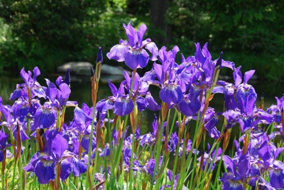 Iris sibirica (Siberian flag) - Marginal Pond Plants - Pond Plants - Water Plants-0