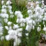 Eriophorum angustifolium (Cotton grass, Bog cotton, Scirpus angustifolius) - Marginal Pond Plants - Pond Plants - Water Plants-0