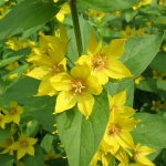 Lysimachia punctata (Circle flower or Dotted loosestrife) - Marginal Pond Plants - Pond Plants - Water Plants-0