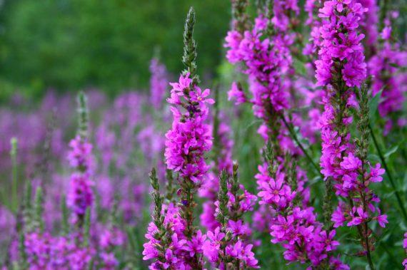 Lythrum salicaria (Purple loosestrife) - Marginal Pond Plants - Pond Plants - Water Plants-0