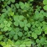 Marsilea quadrifolia (Water shamrock or Upright water clover) - Marginal Pond Plants - Pond Plants - Water Plants-439