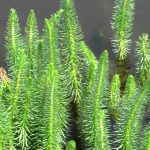 Hippuris vulgaris (Mare's tail) - Marginal Pond Plants - Pond Plants - Water Plants-0