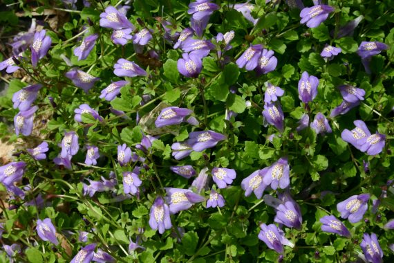 Mazus reptans (Chinese marshflower) - Marginal Pond Plants - Pond Plants - Water Plants-0