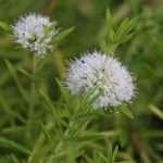 Mentha cervina (Water spearmint or Preslia cervina) - Marginal Pond Plants - Pond Plants - Water Plants-3149