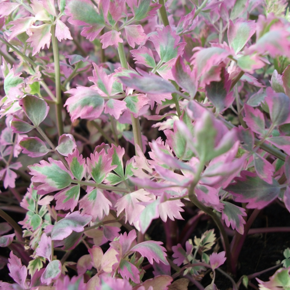 Oenanthe javanica 'Flamingo' (Variegated water dropwort) - Marginal Pond Plants - Pond Plants - Water Plants-0