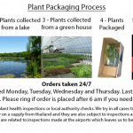 Mentha cervina (Water spearmint or Preslia cervina) - Marginal Pond Plants - Pond Plants - Water Plants-1399