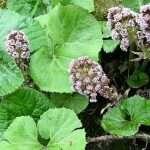 Petasites hybridus (Butterburr or Umbrella plant) - Marginal Pond Plants - Pond Plants - Water Plants-0