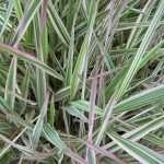 Phalaris arundinacea var picta (Gardener's garters) - Marginal Pond Plants - Pond Plants - Water Plants-0