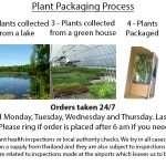 Euphorbia palustris (Marsh spurge) - Marginal Pond Plants - Pond Plants - Water Plants-3138