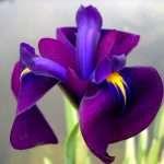 Iris ensata 'Variegata' (Variegated Japanese clematis iris) - Marginal Pond Plants - Pond Plants - Water Plants-0