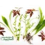 50 Live Aquarium Aquatic, Tropical Fish tank Plants, Live plants, Fresh, Cold water-806