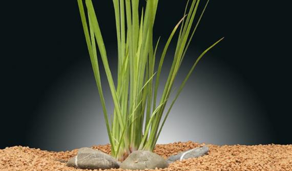 Acorus gramineus var. 'Ogon' - Aquarium Plants -0