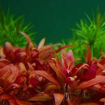 Alternanthera cardinalis-emerged - Aquarium Plants -0
