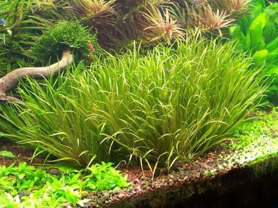 Blyxa japonica - Aquarium Plants -0