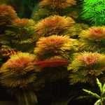 Cabomba piauhyensis - Aquarium Plants -0