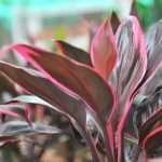 Cordyline 'Red edge' - Aquarium Plants -0