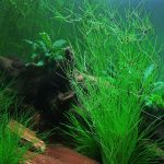 Eleocharis vivipara - Aquarium Plants -0